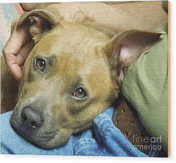 Sweet Pit Bull . Face Of Love Wood Print