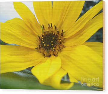 Sweet Sunflower Wood Print by Sonya Chalmers