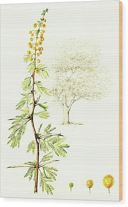 Wood Print featuring the painting Sweet Thorn Botanical Illustration by Heidi Kriel