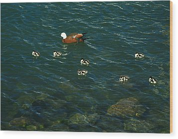 Swimming Lessons 2 Wood Print by Terry Perham