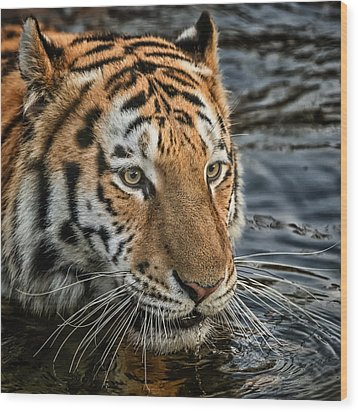 Wood Print featuring the photograph Swimming Tiger by Chris Boulton