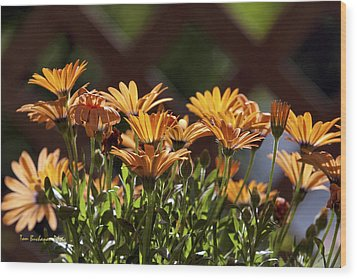 Symphony Osteospermum Wood Print by Tom Buchanan