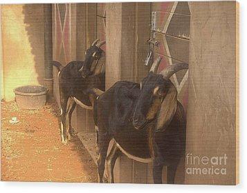 Synchronized Goat Standing Team Usa Wood Print
