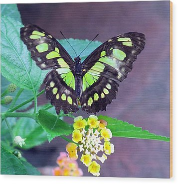 Tailed Jay Visits Lantana Wood Print