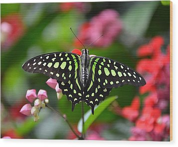 Tailed Jay4 Wood Print