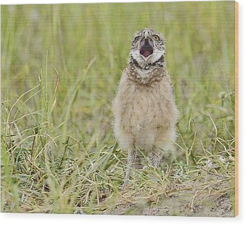 Talking Baby Burrowing Owl  Wood Print by Keith Lovejoy
