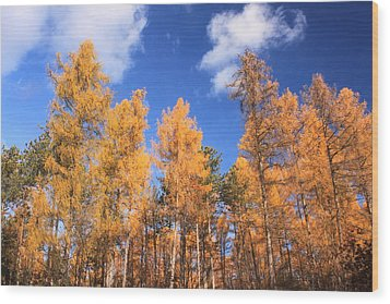 Tamarack Grove Wood Print by John Burk
