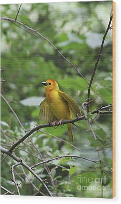 Taveta Golden Weaver #3 Wood Print