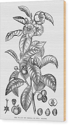Tea Plant, 19th Century Wood Print by Granger