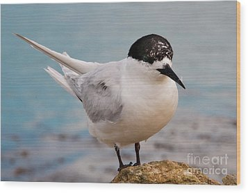 Wood Print featuring the photograph Tern 1 by Werner Padarin