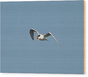 Tern Flight 02 Wood Print by Al Powell Photography USA