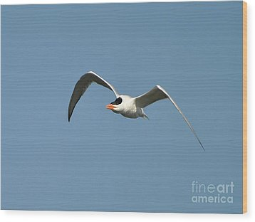 Tern Flight Wood Print by Al Powell Photography USA
