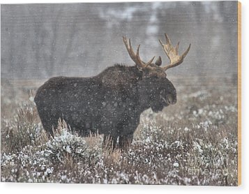 Wood Print featuring the photograph Teton Snowy Moose by Adam Jewell