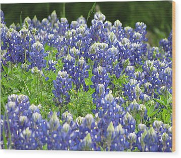 Texas Bluebonnets Austin Texas Wood Print