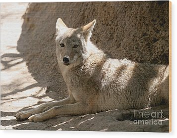 Texas Coyote Wood Print by Jeannie Burleson