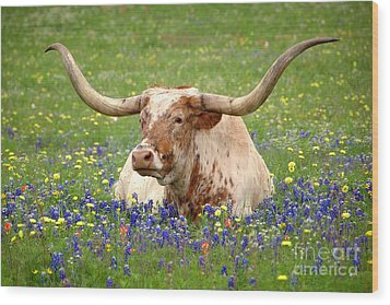 Texas Longhorn In Bluebonnets Wood Print by Jon Holiday