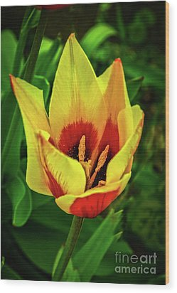 Wood Print featuring the photograph The Bicolor Tulip by Robert Bales