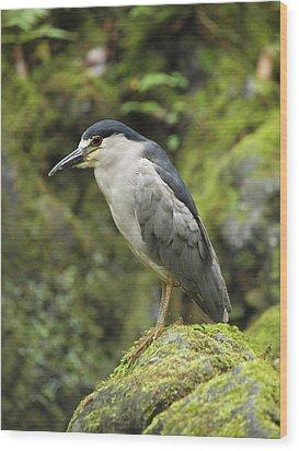 The Black Crowned Night Heron Wood Print by Phil Stone