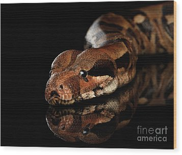 The Boa Constrictors, Isolated On Black Background Wood Print