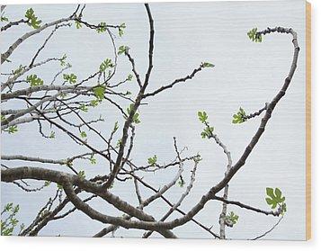 The Fig Tree Budding Wood Print