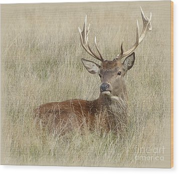 The Gentle Stag Wood Print