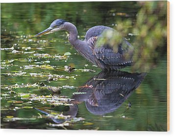 The Great Blue Heron Hunting For Food Wood Print by David Gn