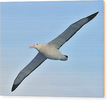 The Greatest Seabird Wood Print by Tony Beck
