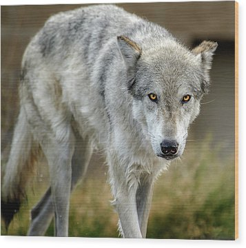 The Grey Wolf Shake Wood Print