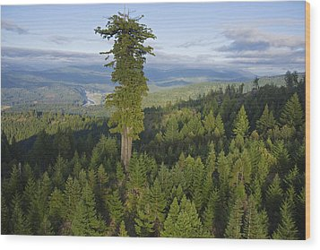 The Largest Patch Of Old Growth Redwood Wood Print by Michael Nichols