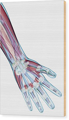 The Ligaments Of The Hand Wood Print by MedicalRF.com