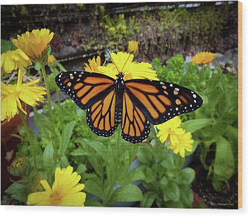 The Mighty Monarch  Wood Print