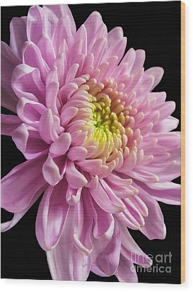 The One And Only Dahlia  Wood Print