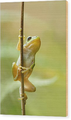 The Pole Dancer - Climbing Tree Frog  Wood Print by Roeselien Raimond