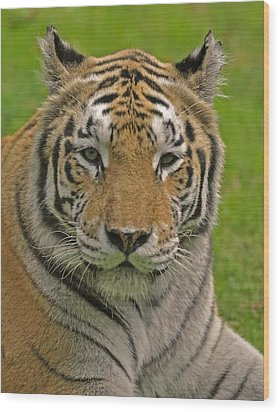 The Tiger's Stare Wood Print