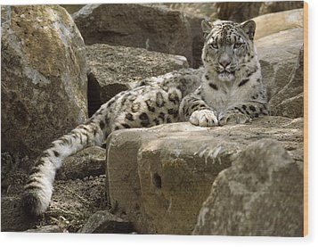 The Watchful Stare Of A Snow Leopard Wood Print by Jason Edwards
