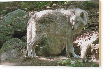 Wood Print featuring the photograph The Wild Wolve Group B by Debra     Vatalaro