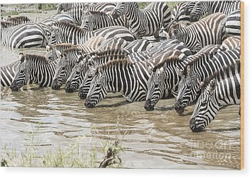 Thirsty Zebras Wood Print