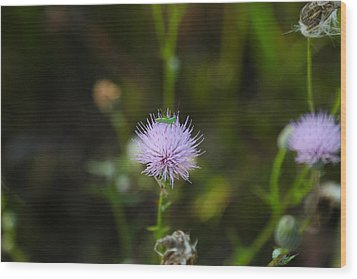 Thistles Morning Dew Wood Print by Christopher L Thomley