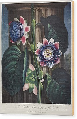Thornton: Passion-flower Wood Print by Granger