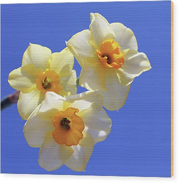 Wood Print featuring the photograph Three Daffodils by Judy Vincent