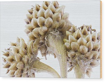 Three Globe Cornflower Seed Heads - Macro Wood Print by Sandra Foster