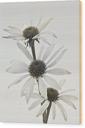 Three White Coneflowers Wood Print by Sandra Foster