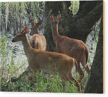 Three Young Bucks Wood Print