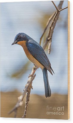 Tickells Blue Flycatcher, India Wood Print by B. G. Thomson