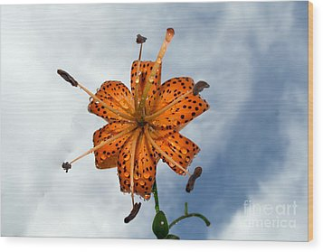 Tiger Lily In A Shower Wood Print by Kevin Fortier