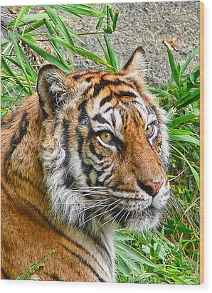 Tiger Portrait Wood Print by Jennie Marie Schell