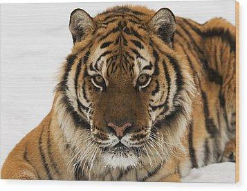 Tiger Stare Wood Print