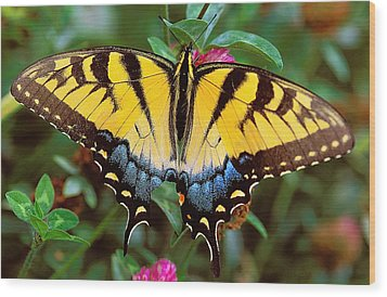 Tiger Swallowtail Wood Print by Alan Lenk