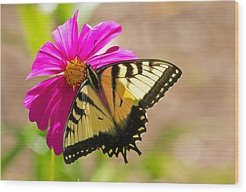 Tiger Swallowtail Butterfly. Wood Print by David Freuthal