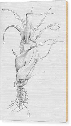 Tillandsia Flexuosa Wood Print by Penrith Goff